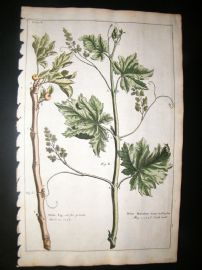 Langley 1729 Folio Hand Col Botanical Print. White Fig, Muscadine Grape Fruit 10